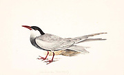 The white-cheeked tern (Sterna repressa) is a species of tern in the family Laridae. It is found around the coasts on the Red Sea, around the Horn of Africa to Kenya, in the Persian Gulf and along the Iranian coast to Pakistan and western India. 18th century watercolor painting by Elizabeth Gwillim. Lady Elizabeth Symonds Gwillim (21 April 1763 – 21 December 1807) was an artist married to Sir Henry Gwillim, Puisne Judge at the Madras high court until 1808. Lady Gwillim painted a series of about 200 watercolours of Indian birds. Produced about 20 years before John James Audubon, her work has been acclaimed for its accuracy and natural postures as they were drawn from observations of the birds in life. She also painted fishes and flowers. McGill University Library and Archives