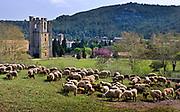 Sheep grazing in a field near to the Abbey on 27th July 2007, Lagrasse, France.