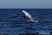 Risso's dolphin, Grampus griseus, breaching, off San Diego, California, U.S.A. ( Eastern Pacific Ocean )