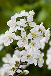 Prunus cerasus 'Morello' - Morello cherry in blossom