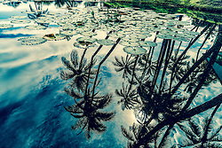 Palm Trees Reflecting on Water with Lotus Leaves
