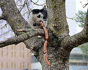 """Cat Thieves That were Caught Red-Pawed<br /> <br /> There's a saying that goes """"honest as a cat when the meat's out of reach""""- those adorable furballs might purr and beg for a scratch behind the ears, but as soon as you turn your back, they're back to their scheming ways. Here's a list of cats that have been caught red-pawed in the act of stealing a tasty morsel.<br /> <br /> In truth, owners should be mindful when their cats try to get their paws on human food. Their digestion works differently from ours, and many foods, even ones they love, like milk, can give them upset stomachs or worse. Chocolate and onions are especially dangerous, and should be kept tucked away far out of reach.<br /> ©Exclusivepix"""