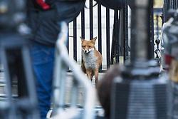 London, January 16 2018. An urban fox wanders through Downing Street as the UK Cabinet meets inside No 10. © Paul Davey
