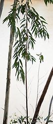 Eucalyptus camaldulensis #19