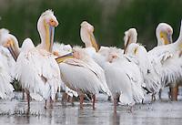 White Pelican (Pelecanus onolocratus) in the Danube Delta, Romania. May 2009 <br /> Mission: Danube Delta