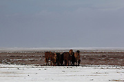 Icelandic horses huddle together in the fierce wind of the last winter in the Snaefellsnes Peninsular in Western Iceland, near Arnastappi.