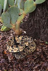 Canebrake rattlesnake, Crotalus horridus atricaudatus, chevrons, pit viper, poisonous, rattler, reptile, scales, snake, venomous
