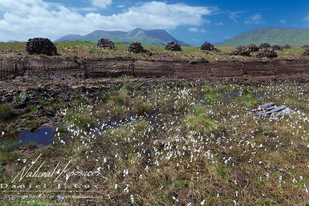 Cotton grass on speckles the peat bog. Peat bricks lie drying in a field in Ireland.
