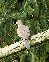 Mourning Dove. Image taken with a Nikon 1 V3 camera and 70-300 mm VR lens,