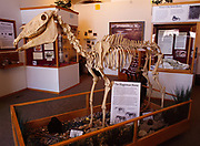 The Hagerman Horse, Equus simplicidens, over three-million-year-old fossilized skeleton from Pliocene Epoch on display at the Hagerman Fossil Beds National Monument, Hagerman, Idaho.
