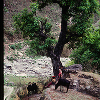 Women. tend cattle in the Marsyandi Valley east of Annapurna in Nepal.
