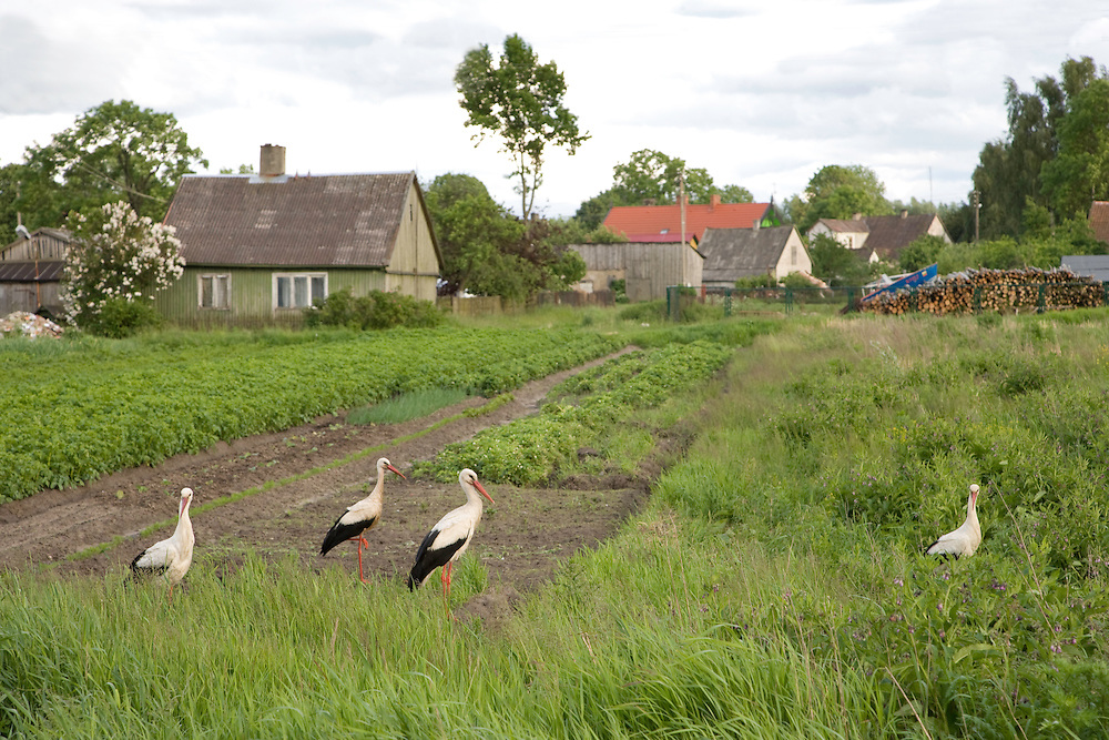 White stork (Ciconia ciconia) group stood in village allotments. Lithuania. Mission: Lithuania, June 2009