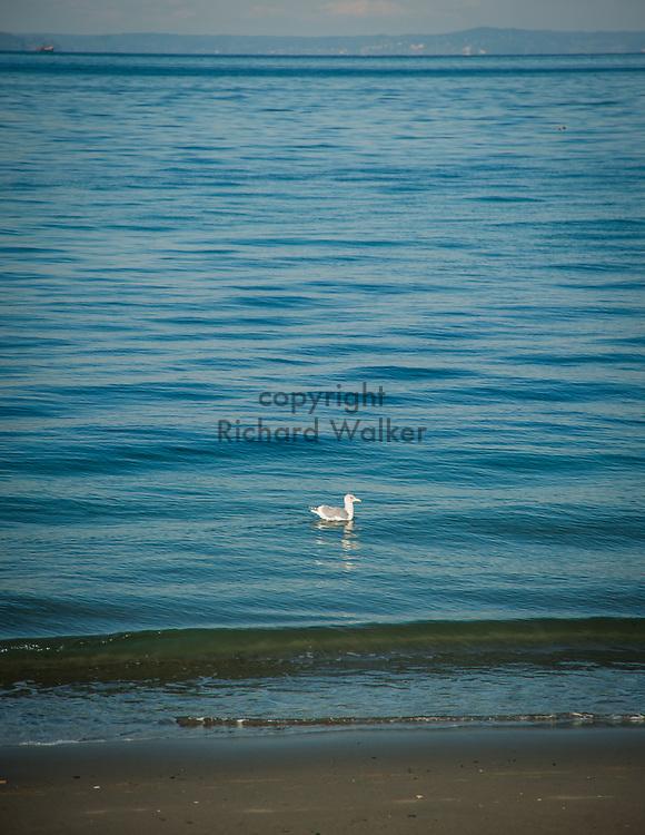 2017 NOVEMBER 06 - Seagull in Puget Sound off Alki Beach, Seattle, WA, USA. By Richard Walker
