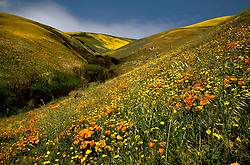 California: Desert.  Wildflowers near Gorman. Photo cadea2101..Photo copyright Lee Foster, 510/549-2202,  lee@fostertravel.com, www.fostertravel.com