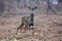Roe Deer (Capreolus capreolus), the Carpathians; Carpathian Mountains; Bieszczady Mountains; Poland