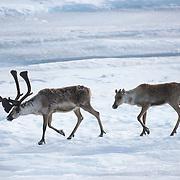 Barren Ground Caribou (Rangifer tarandus groenlandicus) in Alaska.