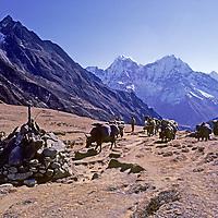 NEPAL, HIMALAYA. Dzos (yak-cattle) pass Tibetan Buddhist chorten en route to Mount Everest base camp. Mts. Kangtega & Thamserku bkg.