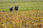 Hikers in the vineyard. Beaune, Cote d'Or, Burgundy, France