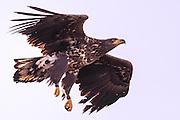 Ringmarked White-tailed Eagle | Ringmerket Havørn