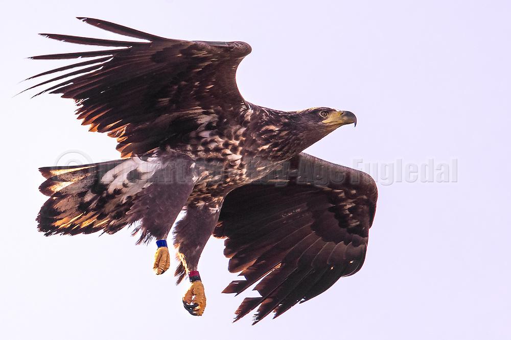 Ringmarked White-tailed Eagle   Ringmerket Havørn