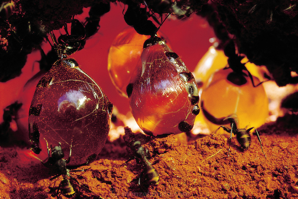 Replete honeypot ants hang immobile from the roof of their underground chamber, with loads of nectar stored in their swollen abdominal pouches. North of Alice Springs, Central Australia. (Man Eating Bugs page 28. See also Man Eating Bugs page 11).