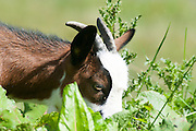 Domestic Pygmy Goat grazing in a field Photographed in Tyrol Austria