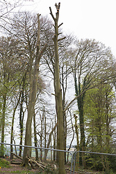 Wendover, UK. 28th April, 2021. Trees partially felled for the HS2 high-speed rail link in ancient woodland at Jones Hill Wood in the Chilterns AONB. Felling of the woodland, which contains resting places and/or breeding sites for pipistrelle, barbastelle, noctule, brown long-eared and natterer's bats, has recommenced after a High Court judge yesterday refused campaigner Mark Keir permission to apply for judicial review and lifted an injunction on felling.