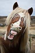 Laughing horse in Iceland
