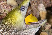 undulated moray eel or leopard moray ( Gymnothorax undulatus ) swallows  yellow tang ( Zebrasoma flavescens ) seized while the fish was sleeping at night, Keahole, Kona, Hawaii, USA ( Central Pacific Ocean )