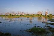 Landscape in Bundala National Park showing dead trees standing in a waterlogged swamp , Sri Lanka