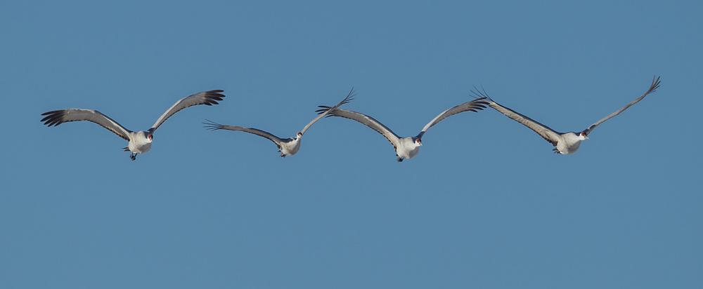 Sandhiil cranes in flight formation, Middle Rio Grande Valley, NM. © David A. Ponton