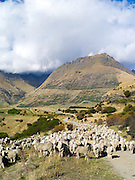 Sheep from the Walter Peak Station,<br />  surrounded by mountains and set off by clouds and blue sky on an autumn day.