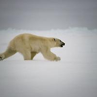 BAFFIN ISLAND, Nunavut, Canada. Polar Bear (Ursus maritimus) runs across frozen Baffin Bay, north of Arctic Circle.