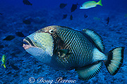 giant, titan or moustache triggerfish, Balistoides viridescens, open-mouth threat display while guarding nest, Moorea, French Polynesia, <br /> ( South Pacific Ocean )