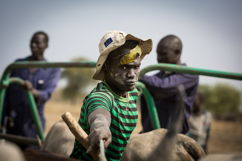 The vaccination is stressful for the cows as they are first gathered in a small enclosure and are then rushed out to receive the injections. Cattle keepers are sometimes injured in the process. South Sudan, 2020.