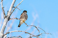 """Merlin Falcon, Jackson Hole, Wyoming. Merlins are small, fierce falcons that use surprise attacks to bring down small songbirds and shorebirds. They are powerful fliers, but you can tell them from larger falcons by their rapid wingbeats and overall dark tones. Medieval falconers called them """"lady hawks,"""" and noblewomen used them to hunt Sky Larks."""