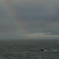 Fin whales swim in the Bransfield Strait, north of Antarctica, under a rainbow.