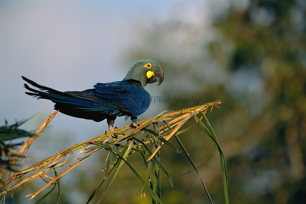 Lear's Macaw   (100% Wild)<br />Anodorhynchus  leari<br />Caatinga of E. BRAZIL.  South America<br />Verge of extinction.