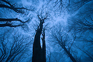 Tree canopy in winter, Felbrigg Woods, Norfolk, UK
