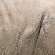 White Rhinoceros, Ceratotherium simum in the Cotswold Wildlife Park, Oxfordshire, UK