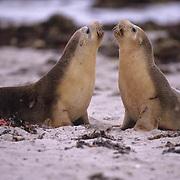 Australian Sea-lion, (Neophoca cinerea) Seal Bay Conservation Park. Kangaroo Island. Australia.