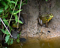 Kermit and other Frogs in the pond. Image taken with a Leica CL camera and 90-280 mm lens.