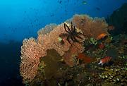 Black and white crinoid, nemaster grandis, on Fan coral, Tulamben, Bali, Indonesia