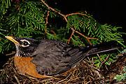 Robin on nest.