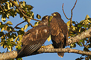 Two juvenile bald eagles (Haliaeetus leucocephalus), just over two months old, sit together on a branch a few hundred yards away from their nest. At the time of this image, the fledglings had been flying for less than a week.