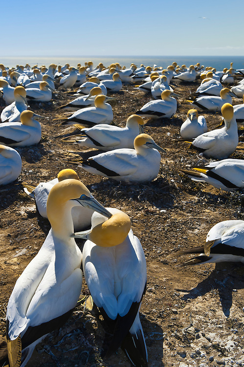 Cape Kidnappers Gannet Reserve, Hawke's Bay, near Napier, North Island, New Zealand