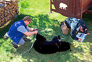 Black Bear being measured by biologists.