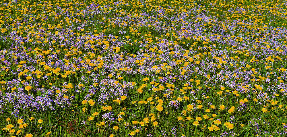 Field of flowers (common dandelions and cuckoo flowers) at Tysvaer, hordaland, Norway, in May 2015.