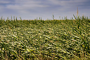 """12 AUGUST 2020 - POLK CITY, IOWA: A corn field with flattened corn after a derecho storm passed through central Iowa. According to Iowa Governor Kim Reynolds, the storm damaged 10 million acres of corn and soybeans in Iowa, about 1 one-third of Iowa's 32 million acres of agricultural land. Justin Glisan, Iowa's state meteorologist, said the storm Monday, Aug. 10, lasted 14 hours and traveled 770 miles through the Midwest before losing strength in Ohio. The storm was a seldom seen """"derecho"""" that packed straight line winds of nearly 100MPH. The storm pummelled Midwestern states from Nebraska to Ohio.     PHOTO BY JACK KURTZ"""
