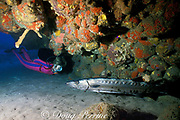 scuba diver observes great barracuda, <br /> Sphyraena barracuda, resting under ledge,<br /> Saba Island, Netherland Antilles or Dutch Caribbean<br /> ( Eastern Caribbean Sea )  MR 95